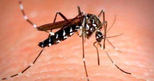mosquito tigre - Aedes albopictus